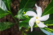 image of jasmine  - White Sampaguita Jasmine or Arabian Jasmine in garden  - JPG