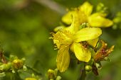 stock photo of klamath  - A full blossoming yellow Klamath weed  - JPG