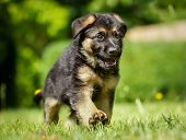 stock photo of alsatian  - Six week old pedigree german shepherd puppy outdoors on a sunny day - JPG