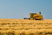 image of harvest  - Yellow harvester harvesting the ripe crop on a sunny summer day.