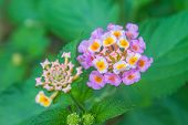 stock photo of lantana  - Lantana or Wild sage or Cloth of gold or Lantana camara flower in garden - JPG