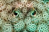 picture of stingray  - Close - JPG