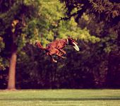 foto of frisbee  -  a dog playing jumping in the air in a park catching a frisbee toned with a retro vintage instagram filter effect  - JPG