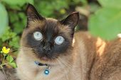 stock photo of applehead  - an applehead Siamese cat is staring widely
