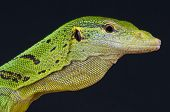 stock photo of monitor lizard  - The emerald tree monitor is a spectacular tree monitor species found in Papua New Guinea and Irian Jaya - JPG