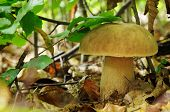 pic of porcini  - Boletus edulis commonly known as the porcini  - JPG