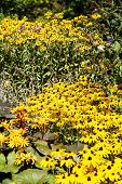 picture of black-eyed susans  - A field of brown - JPG