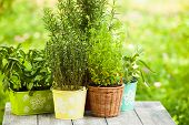 picture of oregano  - Cozy home garden with herbs  - JPG