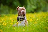 image of pit-bull  - brown american pit bull terrier dog in a collar - JPG