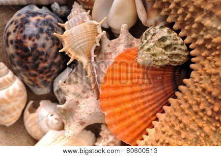 Sea Cockleshells