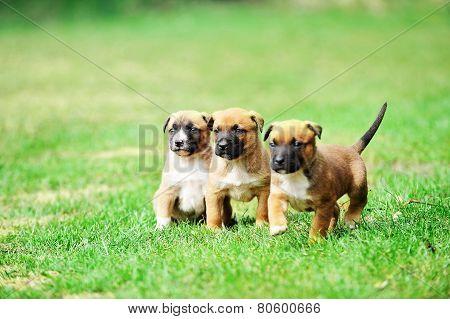 Puppies of Belgian Shepherd Malinois