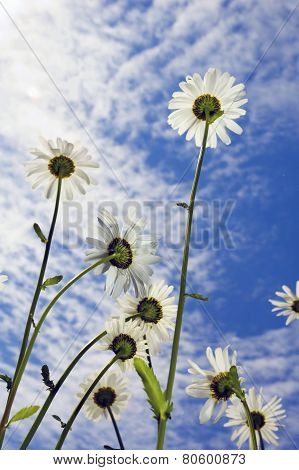 Marguerites On Sky Background