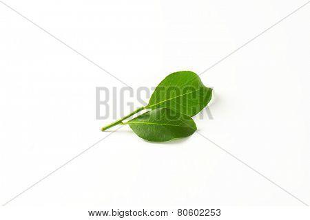 fresh bay leaves on white background