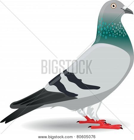 Pigeon or Dove