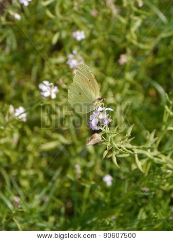 A green butterfly in a bush