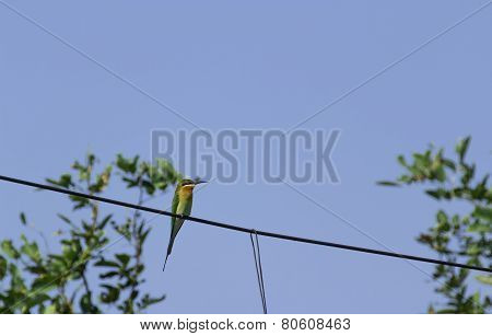 blue tailed bee eater on the electricity wire