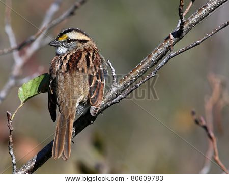 White-throated Sparrow Looking Back