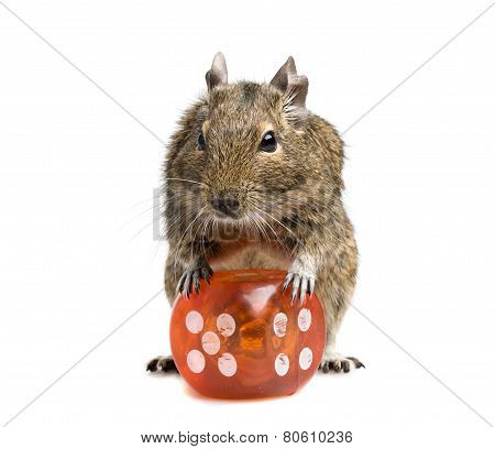 Small Rodent With Big Dice Cube