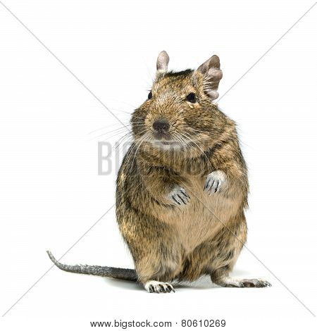 Degu Rodent Pet With Tear In Eye