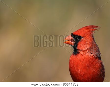 Northern Cardinal Head-shot