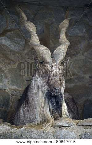 Screw-horned goat