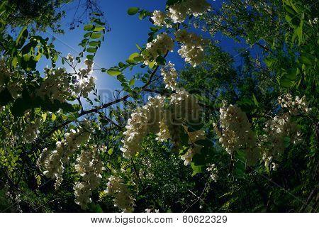 White Acacia flowers among green foliage against a blue sky