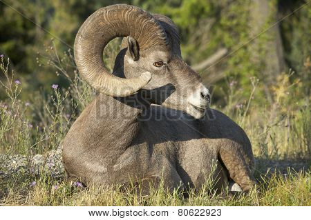 Mountain Goat Sitting In The Ground. Alberta. Canada