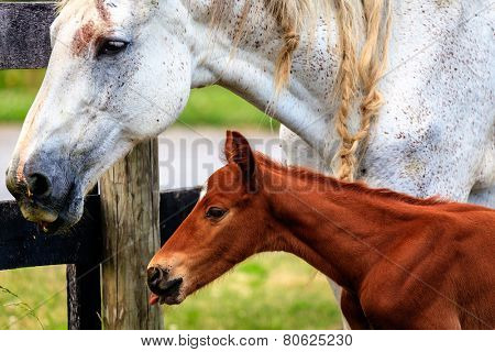Closeup portrait of a mare and her baby colt