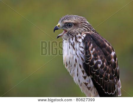 Speaking Broad-winged Hawk