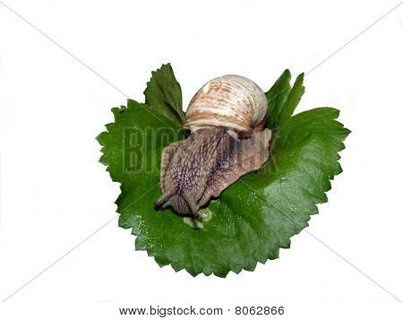 cameo-shell