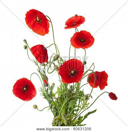 Bouquet  of red poppies isolated on white.