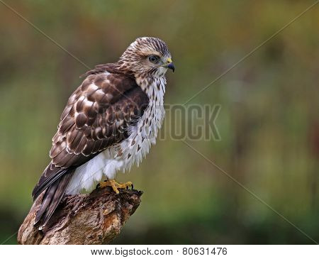 Perched Broad-winged Hawk