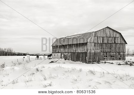 Snow scene with old barn, horses and goat, in the area of Beauce, Quebec province, Canada. Black and white.