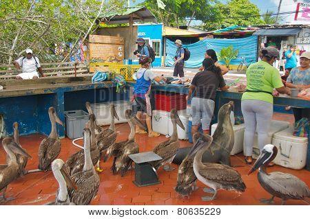Galapagos Islands - May 2014: Fishermen Selling Fish in Fish Market in Santa Cruz Island