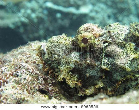 Stonefish In Wait