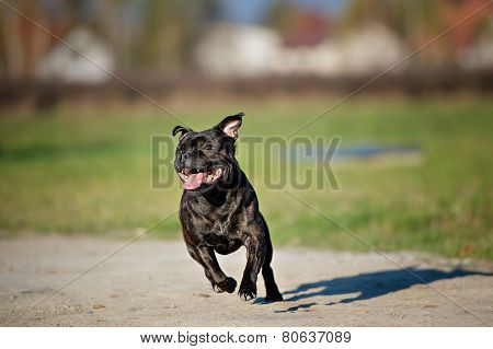 black Staffordshire bull Terrier outdoors