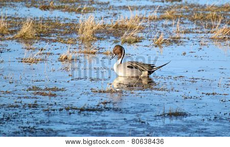 Pintail Duck (Anas Acuta)