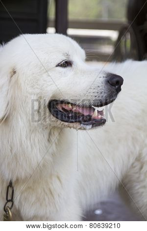 White dog waiting for his master, cute animal