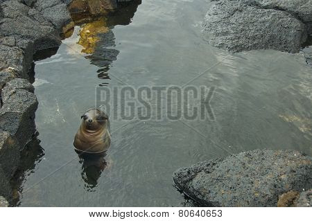 Baby Sea Lion Swimming in Galapagos Islands