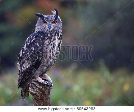 Staring Eurasian Eagle Owl
