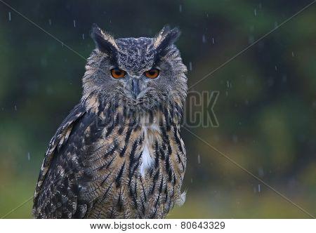 Eurasian Eagle Owl in the Rain