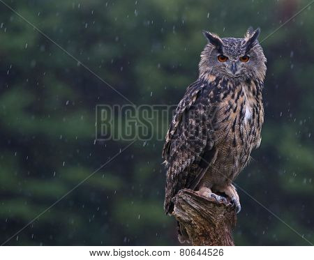 Eurasian Eagle Owl Perched in the Rain