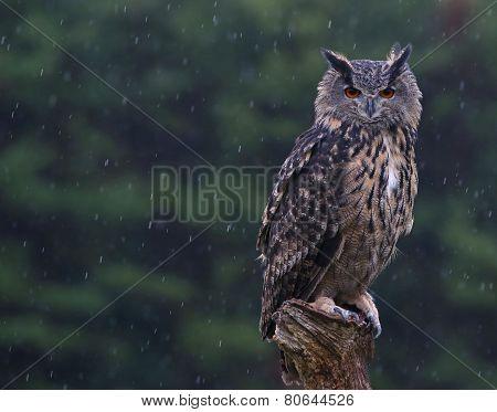 Eurasian Eagle Owl Perched in the Rain
