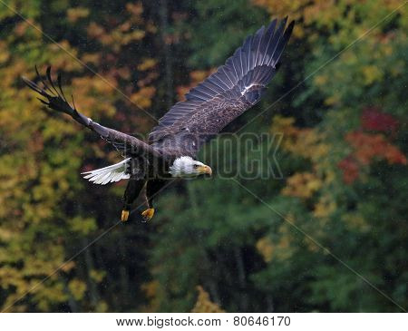 Soaring Bald Eagle in Fall