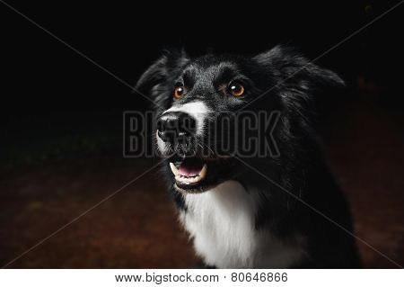 Happy Dog Border Collies
