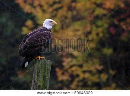 Bald Eagle in Autumn