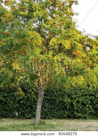 Productive Tree Of Rowan. Clusters Of Orange Berries Of Rowan Tree In Garden City