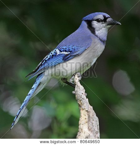 Sitting Blue Jay