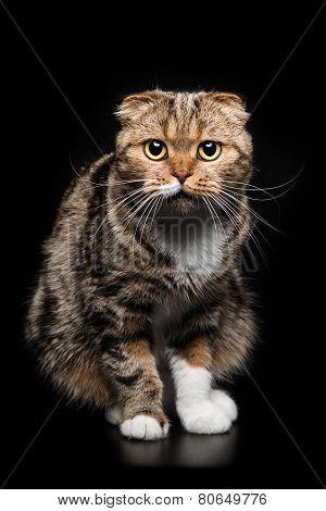 Portrait of Scottish Fold cat on a black background