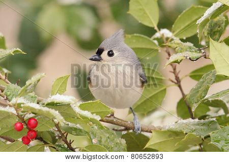 Tuted Titmouse In A Holly Tree